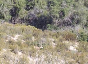 Deer in La Gloria Canyon