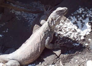Chuckwalla in the audience