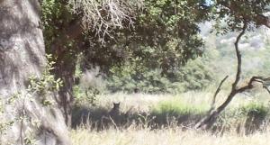 Bobcat in Bell valley