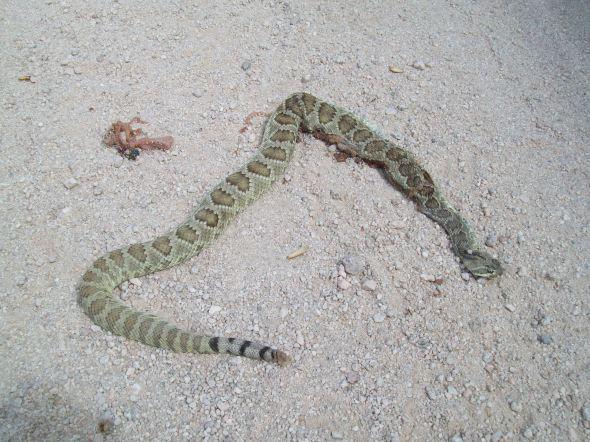 Rattlesnake del diablo