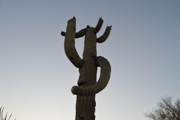 Signalling Saguaro?